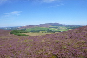 Scottish Heather and hills