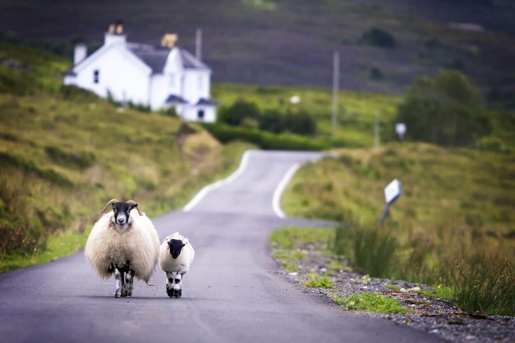 Sheep on a Scottish road