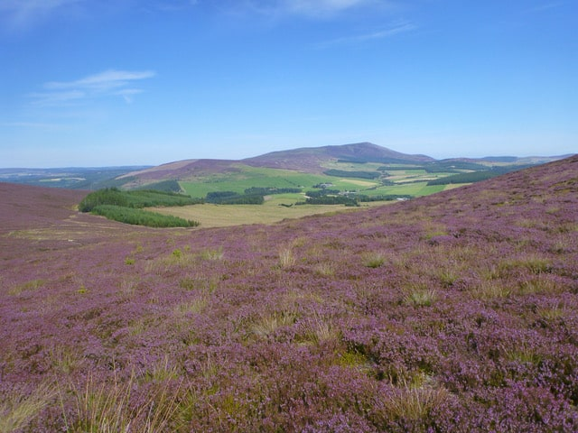 Scottish heather with hills