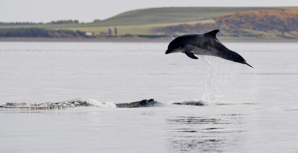 Distilleries and Dolphins - Leaping Dolphins in the Moray Firth