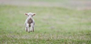 Spring Lamb Springing