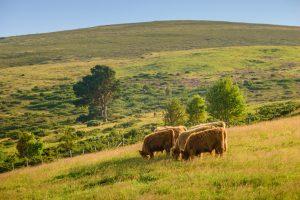 Highland cows on the Glenlivet estate