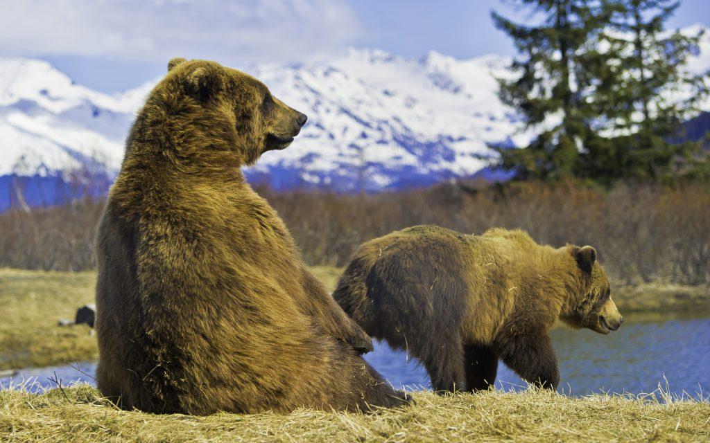 Kodiak Island Grizzly bear and cun