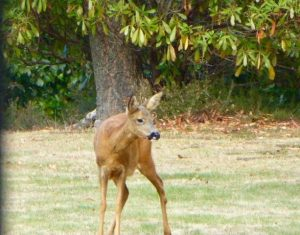 Look out for deer when enjoying the countryside.