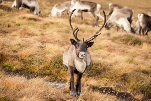 Reindeer and Rocks in Scotland
