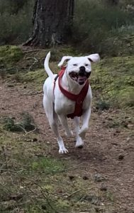 Rosie an American Bulldog in Scotland July 2020