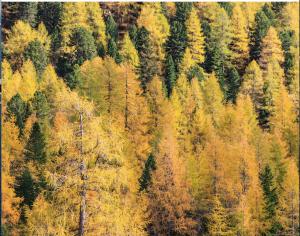 Autumnal Larch